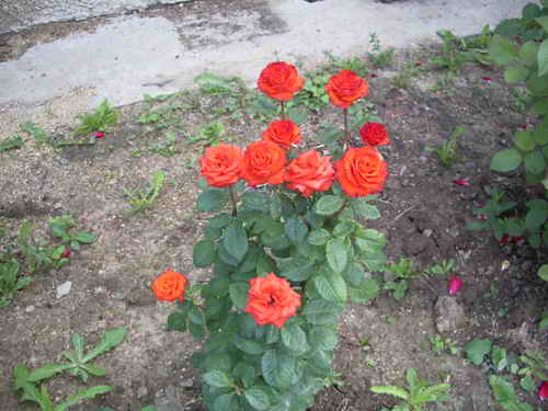 розы сорт мерседес фото